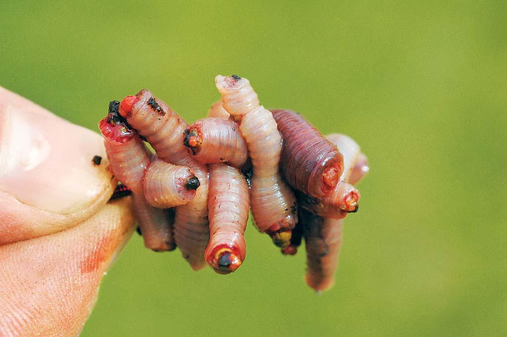 Aalköder: Wenn Würmer in Stücken auf den Haken gezogen werden, verbreiten sie eine unwiderstehliche Duftnote und locken die Aale an. Foto: BLINKER