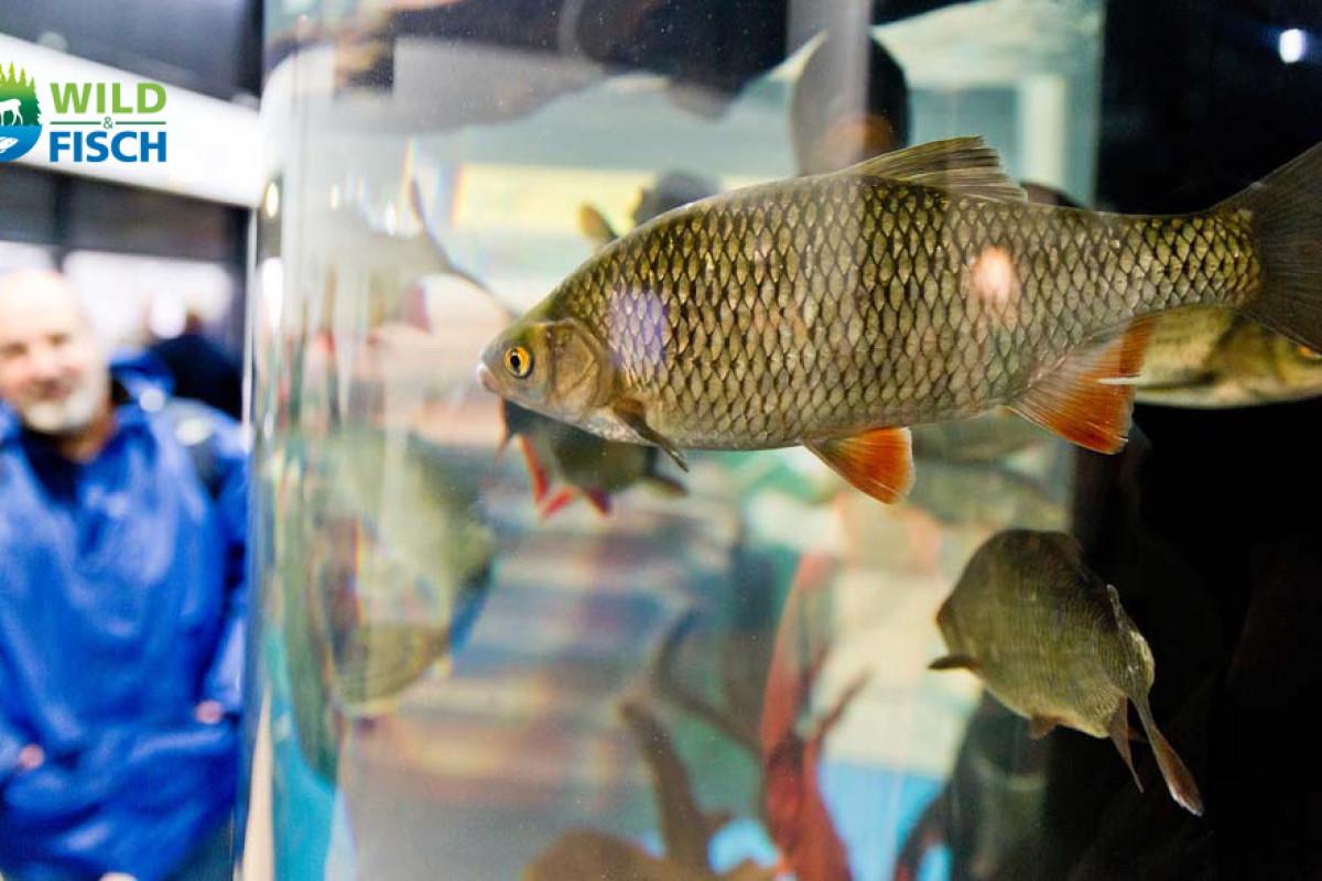 Auf der Messe Wild & Fisch 2017 in Offenburg erwartet auf die Besucher ein Aquarium des Landesfischereiverbands mit heimischen Fischarten. Foto: Messe Offenburg / BRAXART