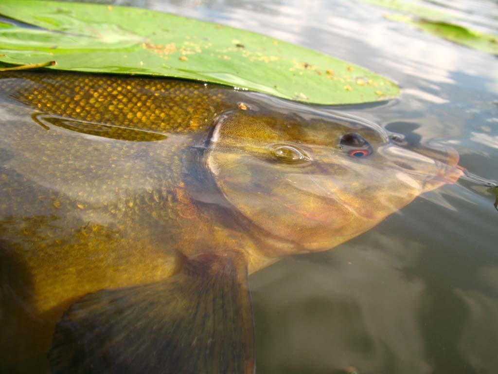 Kraut-Spezialität: Manchmal landet der Fisch mit Grünzeug im Kescher. Beim Posenangeln gelingt es jedoch oft, den Anhieb zu setzen, ehe der Fisch in die Pflanzen abzogen ist. Foto: BLINKER/M. Wehrle