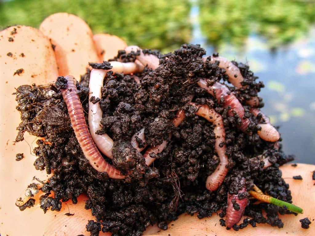 Schleien lieben Futterbälle mit Wurmfüllung. In weißfischreichen Gewässern sollten Sie die Würmer in Erdklumpen kneten. Foto: BLINKER/M. Wehrle