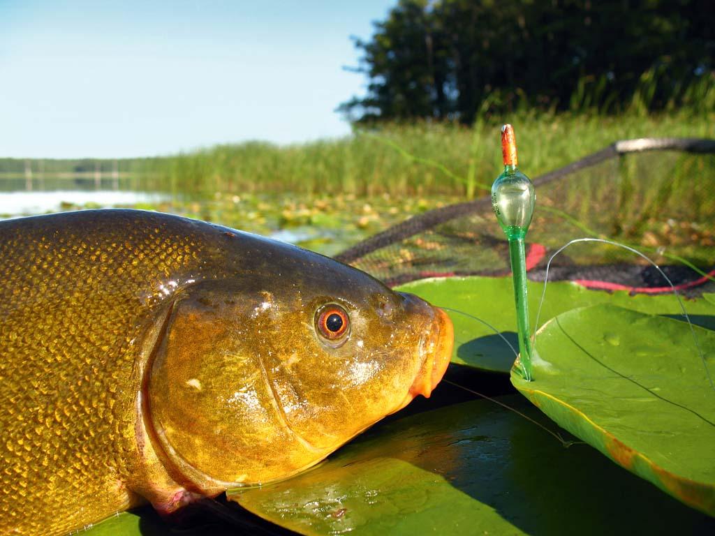 Alles im grünen Bereich! Auf Schleien haben sich kleine Waggler-Posen bewährt, vorzugsweise in transparentem Grün – das fällt zwischen den Wasserpflanzen nicht auf. Foto: BLINKER/M. Wehrle
