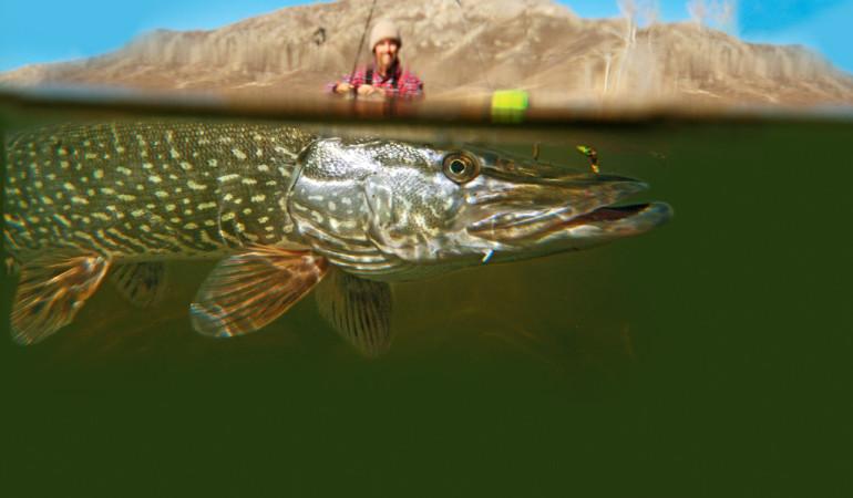 Ein gutes Hechtbild muss nicht unbedingt einen Angler mit seinem Fang zeigen. Auch Drillbilder sind reizvoll. Foto: O. Portrat