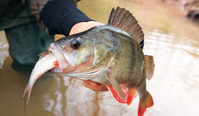 Barschangeln mit Köderfisch ist die natürliche Art, fische zu fangen. Foto: BLINKER/O.Portrat