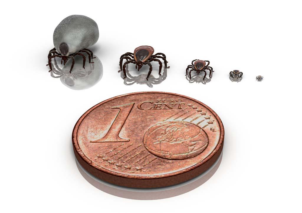 Unterschiedliche Zeckenstadien: Ei, Larve, Nymphe, ausgewachsene Zecke. Rechts sieht man ein mit Blut gefülltes Zeckenweibchen. Foto: www.zecken.de