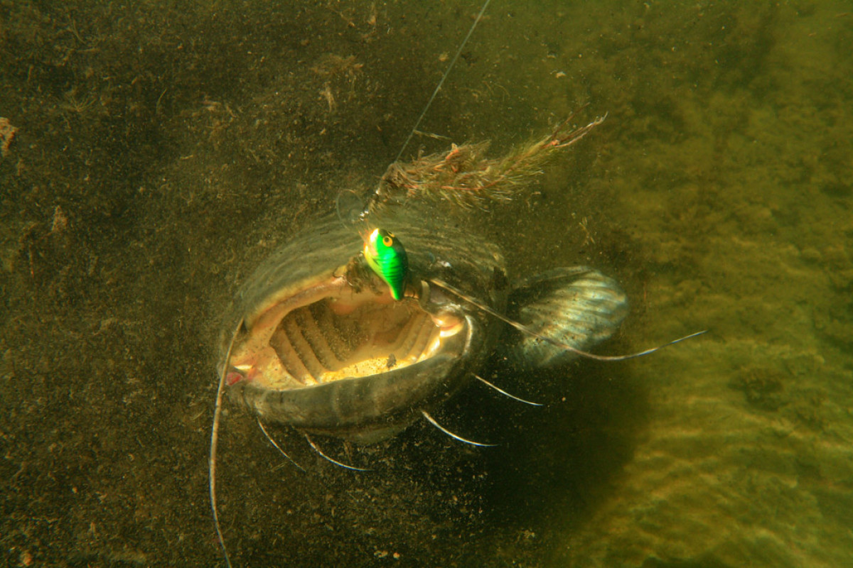 Geldstrafe für Catch and Release: Weil er seine Waller nach dem Fang wieder schwimmen ließ, muss nun ein Angler eine Geldstrafe zahlen. Foto: BLINKER/O. Portrat