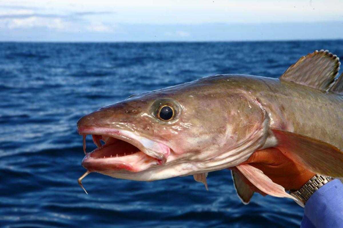 Lengangeln in Norwegen: Der Leng ist der längste der Norwegen-Fische. Und damit ist er allemal eine Reise in den hohen Norden wert. Foto: O. Portart