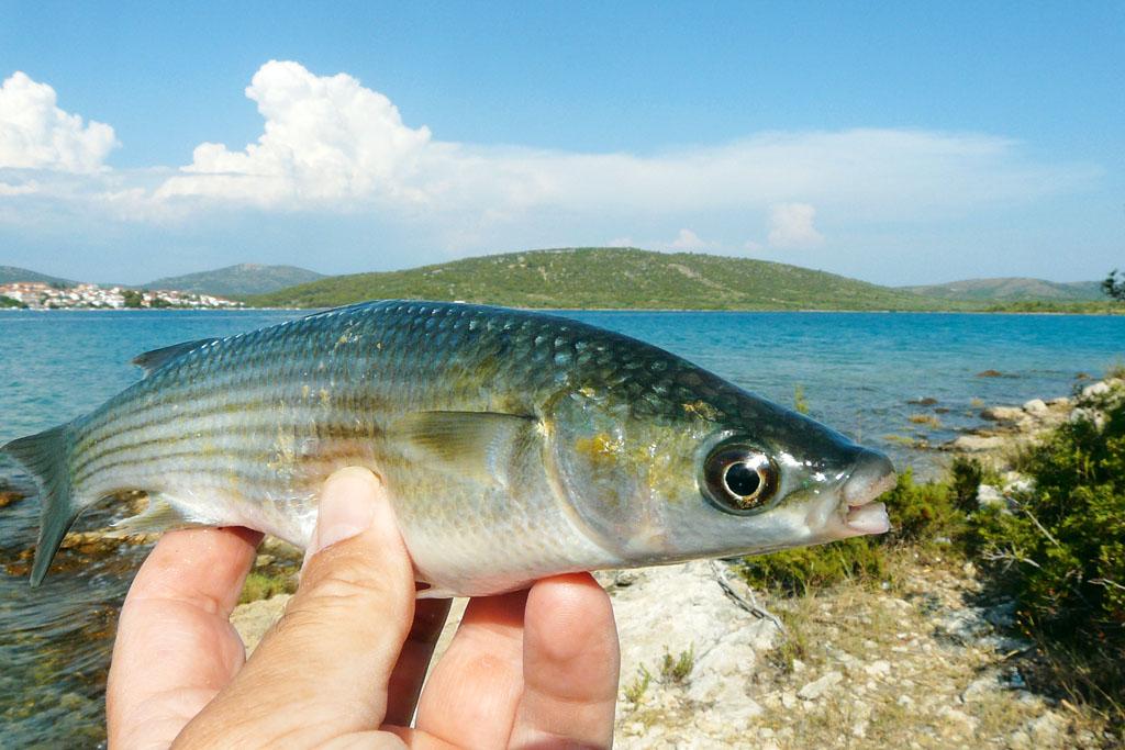 Kleine Meeräschen sind beim Angeln mit Teig eine willkommene Abwechslung. Foto: BLINKER/P. Schmidt