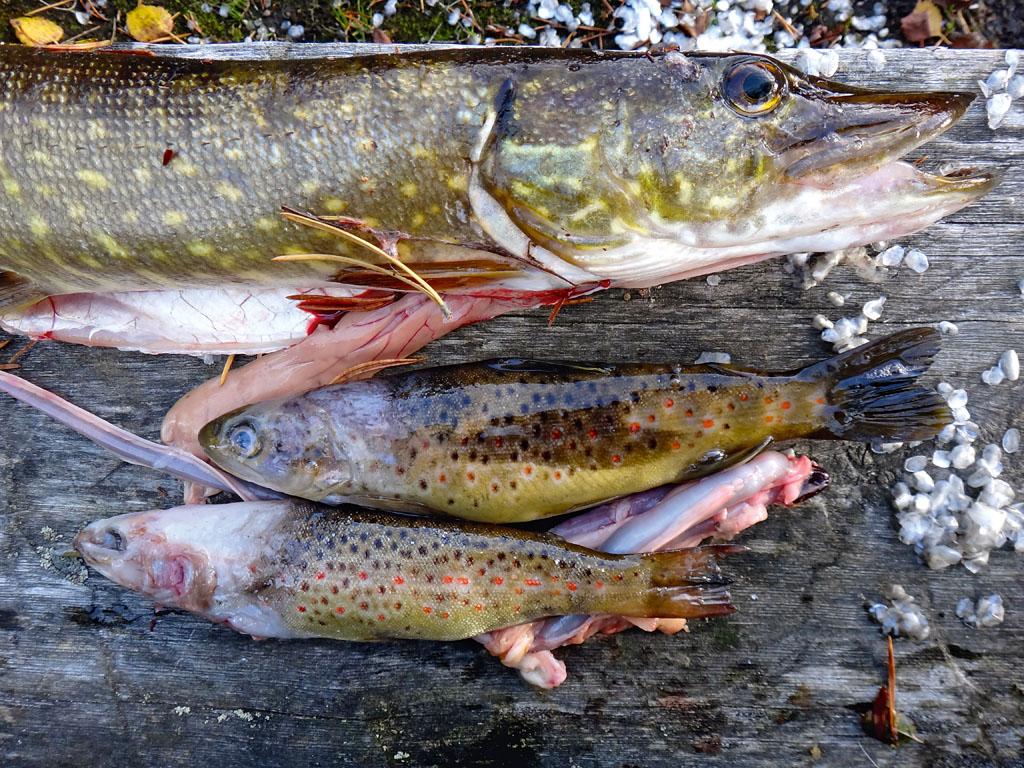 Hier hat sich ein mittlerer Hecht gleich zwei Forellen einverleibt. Foto: BLINKER/S. Halletz