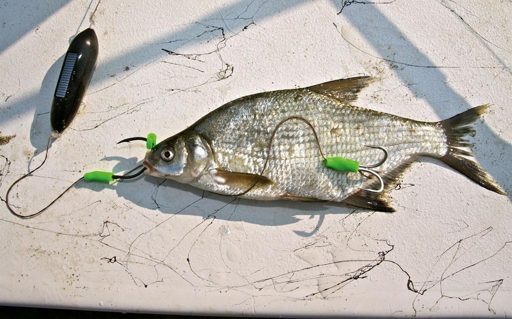 Der zweite (Drillings-)Haken wird in der Flanke des Köderfisches verankert. Foto: BLINKER/ B. Gründer