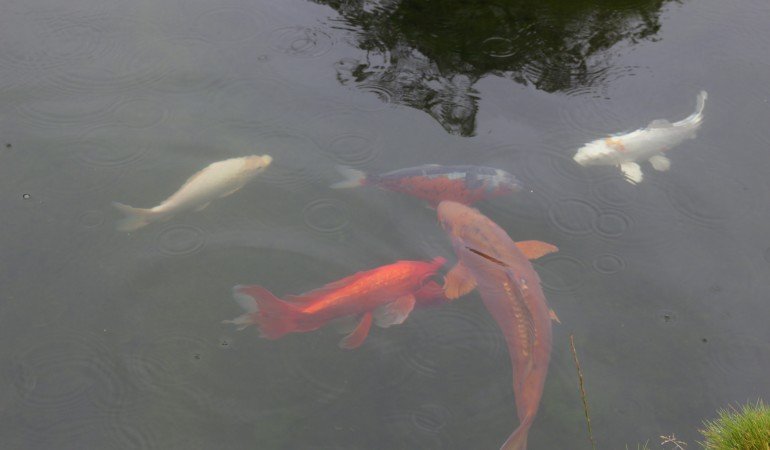 Koi-Karpfen lassen sich im kleineren Teich der Außenanlage bestaunen. Foto: A. Pawlitzki