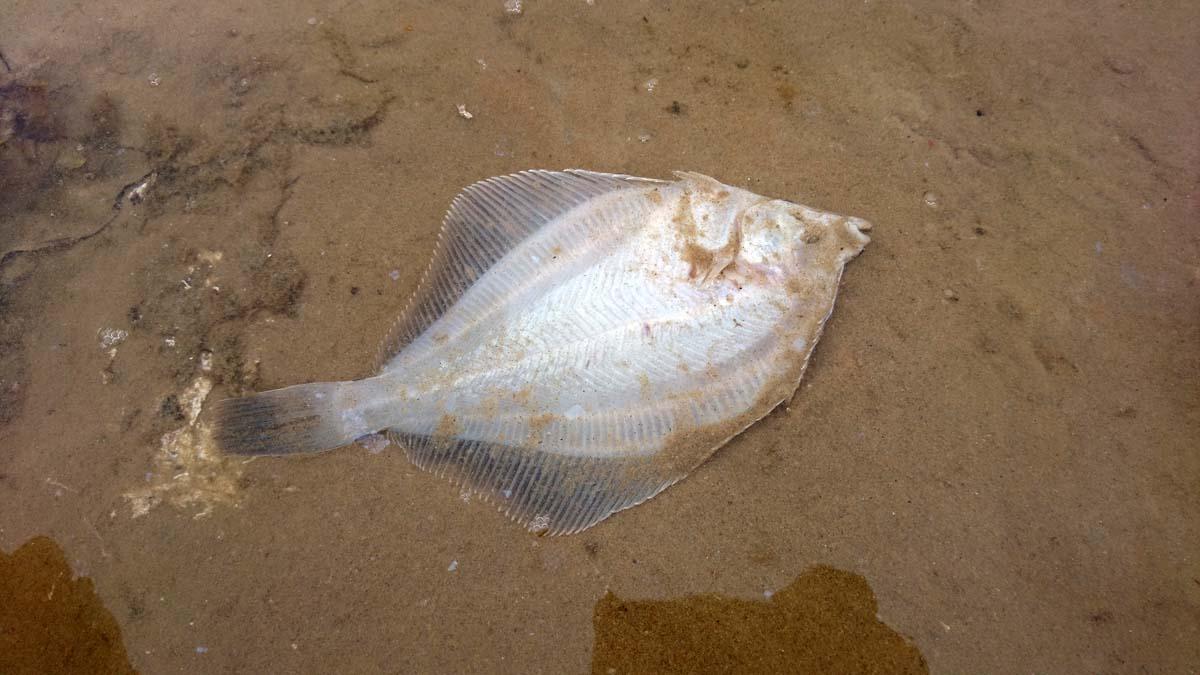 Auch viele Plattfische sind dem Sauerstoffmangel zum Opfer gefallen. Foto: BLINKER/M. Brehme