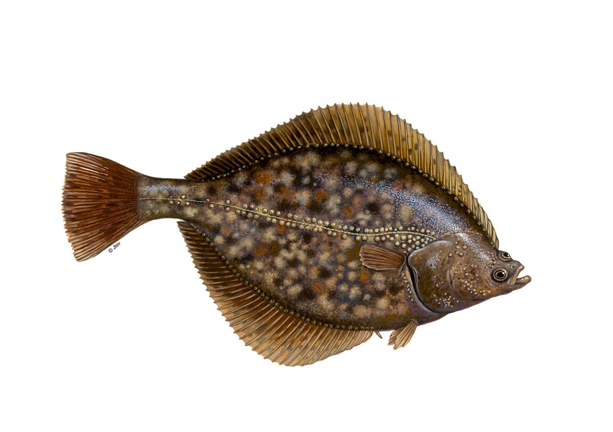Flundern sind Bodenfische, die flaches Wasser bis etwa 30 Meter Tiefe mögen. Grafik: BLINKER