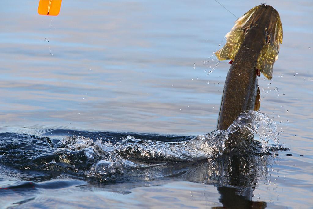 """Alte, erfahrene Hechte stehen in vielen Vereinsgewässern außer Wurfreichweite. Mit der Segelpose werden sie """"rangeholt"""" - so wie dieser Kapitale. Foto: BLINKER/S. Rowley"""