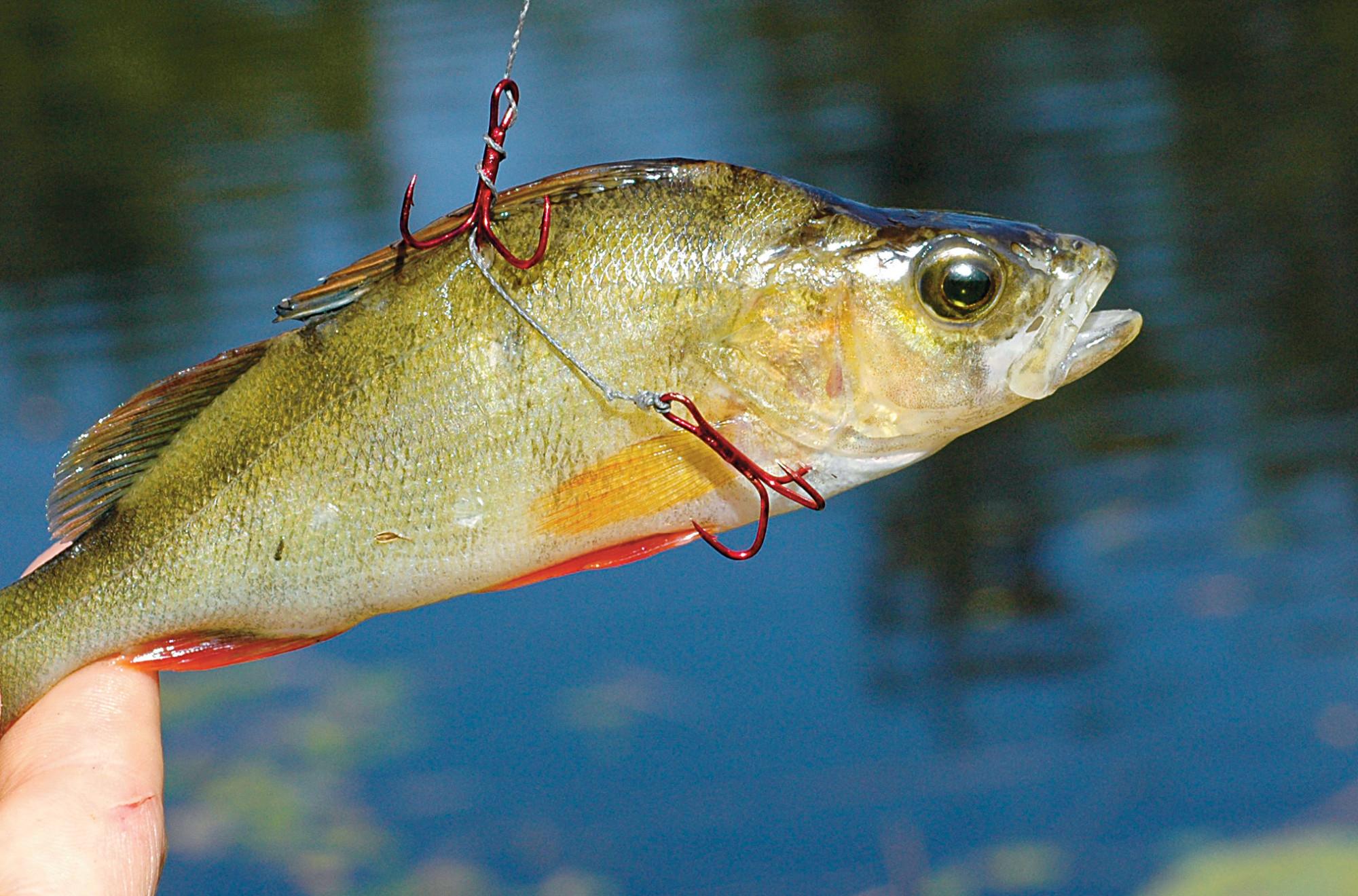 So sollte der Köderfisch an der Segelpose befestigt werden. Foto: BLINKER/M. Wehrle
