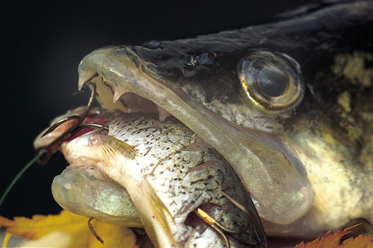Sven Radzewitz zeigt, wie man die Köderfischmontage zum Grundangeln auf Zander Schritt für Schritt nachbauen und fangen kann. Foto: BLINKER/E. Hartwich