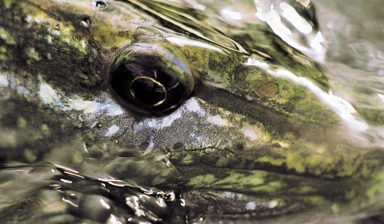 Faszinierende Augen-Blicke: Wer die Fehler beim Hechtangeln überwindet, kommt dem kapitalen Fang näher als jemals zuvor. Foto: BLINKER/O. Portrat
