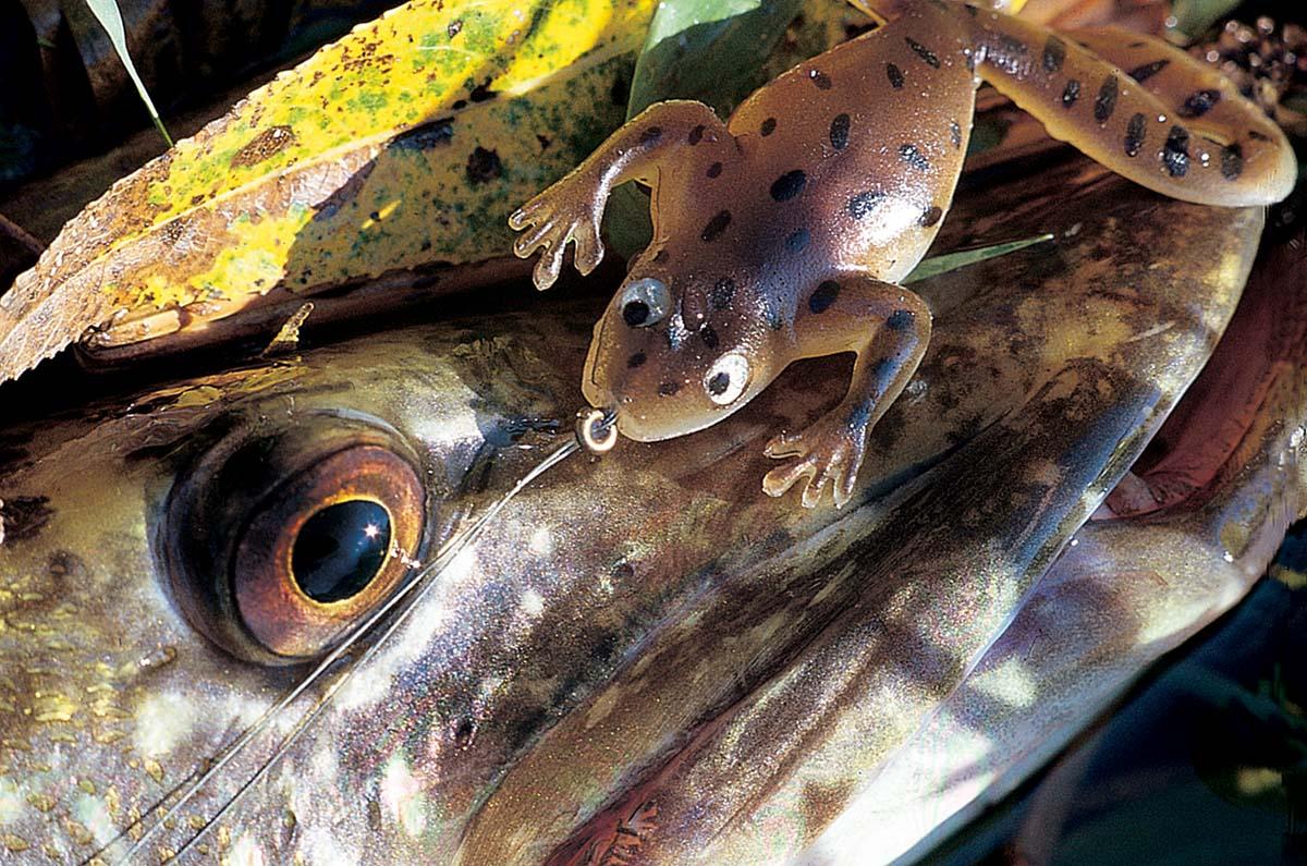 Sei kein Frosch bei der Köderwahl - biete einen an! Foto: BLINKER/M.Wehrle
