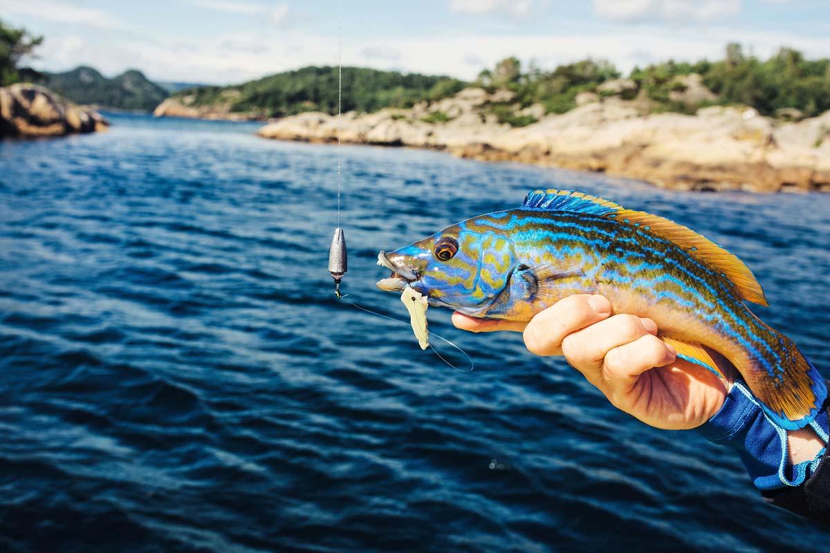 Dieser Lippfisch hat sich den Fischfetzten schmecken lassen. Foto: BLINKER/C. Niemann