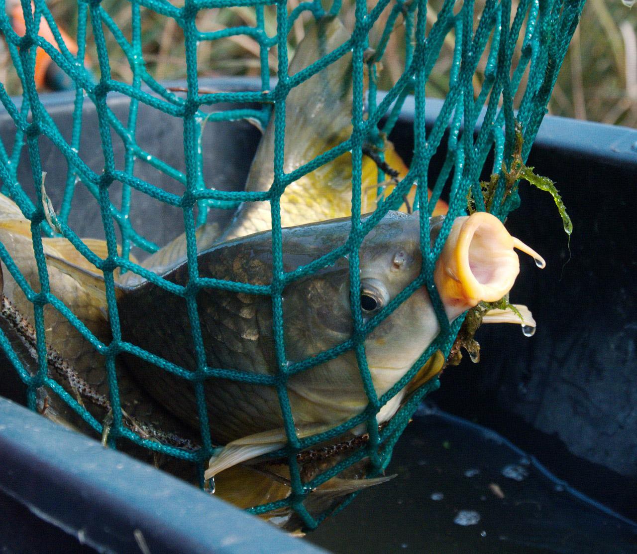 Vor der Weihnachtszeit haben Fischer allerhand zu tun, um die Karpfen aus den Zuchtgewässern zu holen. Foto: pixabay