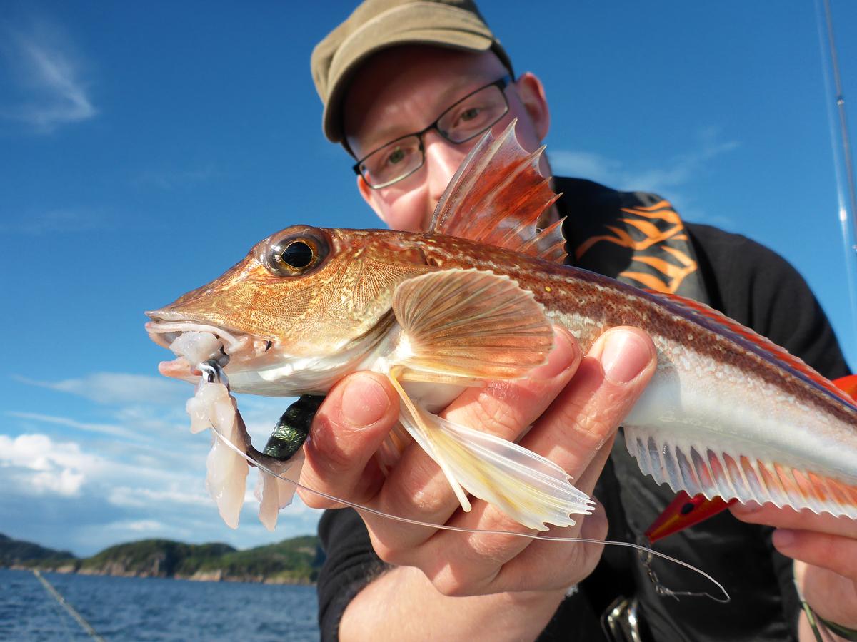 Der Knurrhahn hätte nicht gedacht, dass der stark duftende Fischfetzen einen Haken hat. Beim Angeln mit Makrelenfetzen weiß man nie, welcher Fisch als nächstes beißt. Foto: BLINKER/J. Radtke