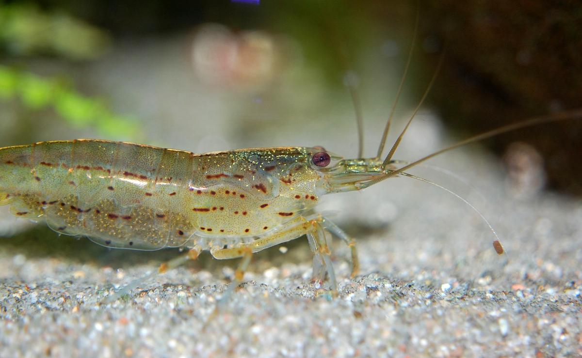 Garnelen leben am Meeresgrund und in Tangfeldern. Sie sind eine beliebte Beute vieler Meeresräuber. Foto: pixabay