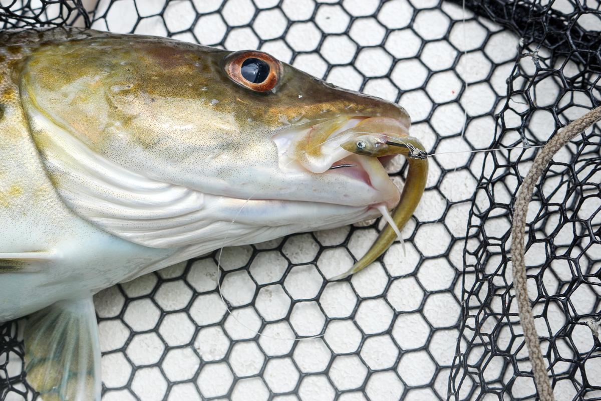 Dieser Dorsch biss auf einen Tobiasfisch, der an der Dropshot-Montage angeboten wurde. Dieser Naturköder zum Meeresangeln ist besonders in der Ost- und Nordsee sehr erfolgreich. Foto: BLINKER/A. Pawalitzki