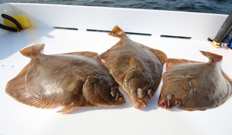Drei schöne Plattfische sind gefangen. Nun zeigen wir, wie man in kürzester Zeit einen Plattfisch filetiert. Foto: BLINKER/L. Berding