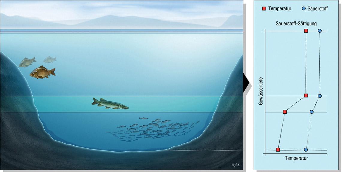 See 1: Nährstoffarmer See mit Sauerstoff unter der Sprungschicht Der klassische Maränensee ist ein gutes Beispiel für einen See mit durchgängiger Sauerstoffversorgung unterhalb der Temperatur-Sprungschicht. Die Fische finden auch im kühlen Tiefenwasser einen Lebensraum. Der Sauerstoffgehalt nimmt im Laufe des Sommers allmählich ab – gegen Ende des Sommers kann er am Seegrund knapp werden. Grafik: BLINKER/B. Gierth