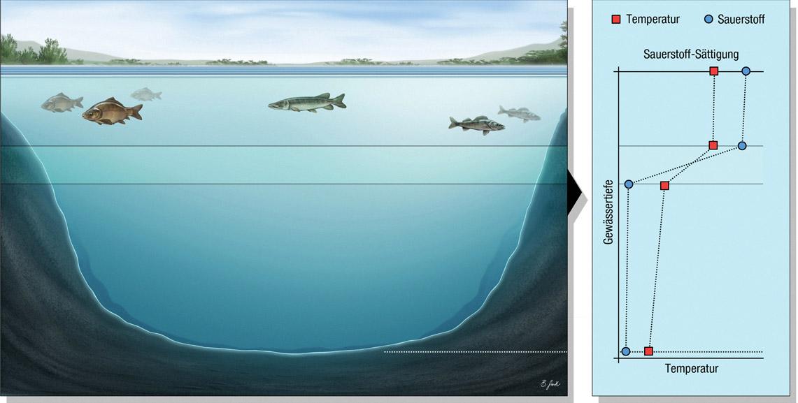 See 2: Nährstoffreicher See mit Sauerstofffreier Tiefe Diesen Seentyp gibt es recht häufig. Er besitzt oft trüberes Wasser durch Algenwachstum. Die absterbenden Algen und andere Organismen zehren in der Tiefe den Sauerstoff mit Ausbildung der Sprungschicht zügig auf. Schon bald ist dort kein Sauerstoff mehr vorhanden und den Fischen bleibt nur die Wassersäule oberhalb der Sprungschicht als Lebensraum. Die Temperatur-Sprungschicht ist hier gleich der Sauerstoff-Sprungschicht. Grafik: BLINKER/B. Gierth
