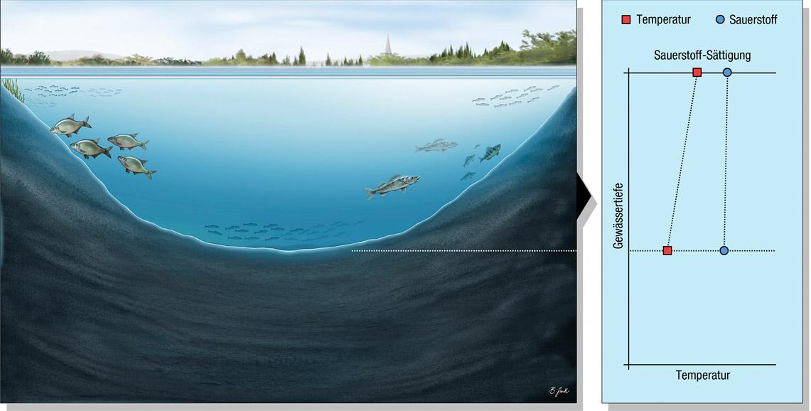 See 3: Ungeschichteter See ohne sprungschicht Dies ist ein typisches Flachgewässer, das durch Wind regelmäßig durchmischt wird. So kommt es hier nicht zur Ausbildung einer Sprungschicht. Sauerstoff ist durch die Durchmischung ebenfalls in allen Tiefen zu finden. Dies sind meist produktive, warme Gewässer. Mischformen mit zeitweiser Schichtung und Durchmischung gibt es auch. Grafik: BLINKER/B. Gierth