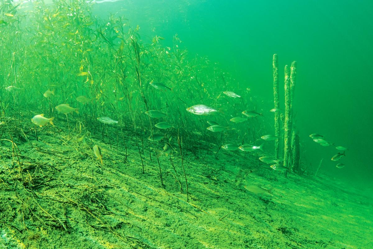 Pflanzen im lichtdurchfluteten Flachwasser bieten Sauerstoff, Nahrung und Deckung. Doch was passiert, wenn sich die Sprungschicht dazwischen drängt? Foto: BLINKER/W. Pölzer