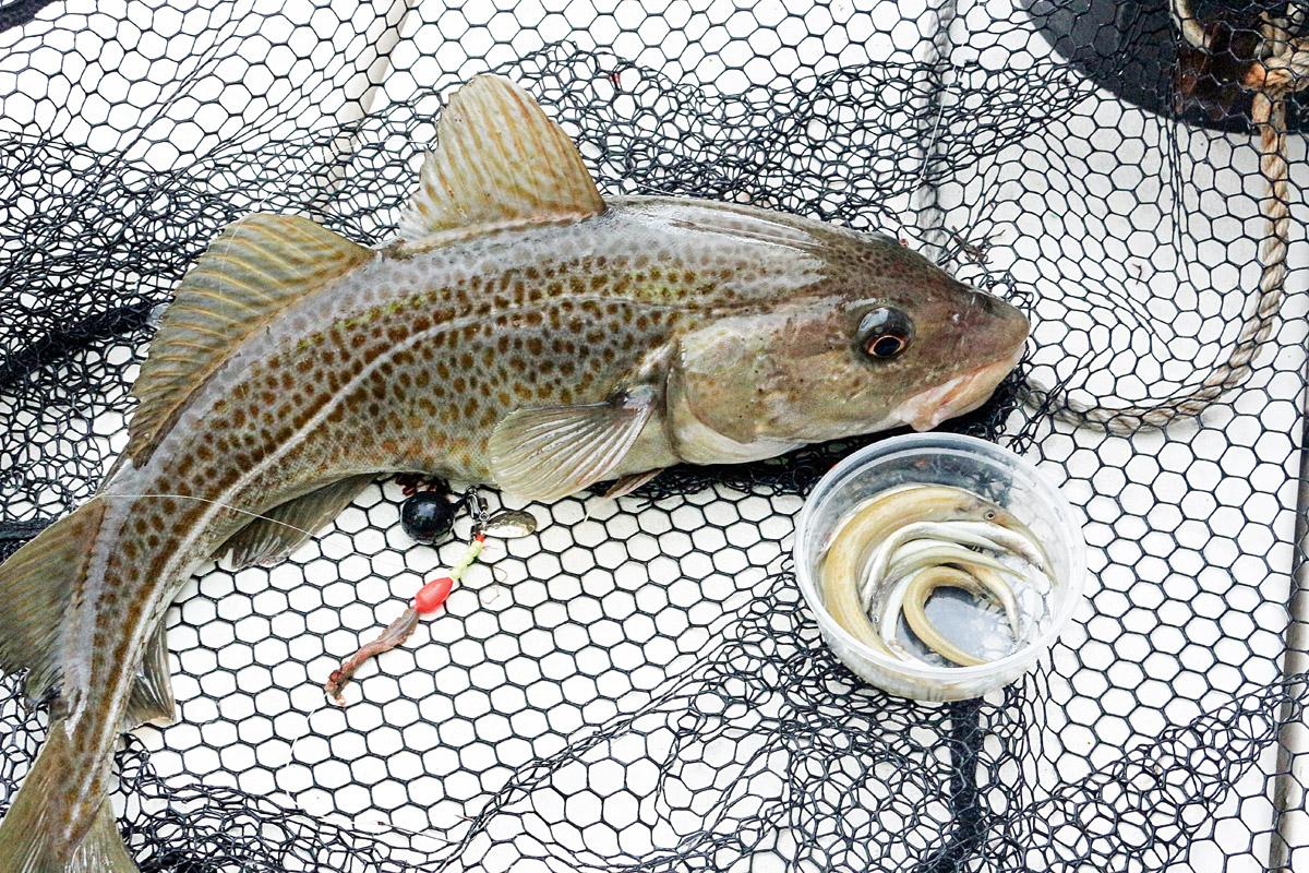 Tobiasfische sind häufige Beute der Räuber in Nord- und Ostsee. Zu bekommen sind sie meist in Längen zwischen sieben und 15 Zentimetern. Foto: BLINKER/A.Pawlitzki