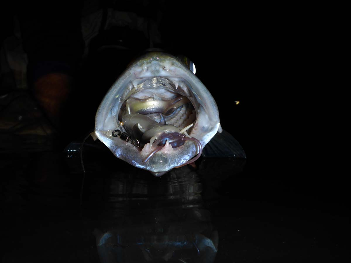 Dieser Zander hat sich problemlos einen 18 Zentimeter großen Kunstköder eingesaugt. Foto: BLINKER/S. Kaufmann
