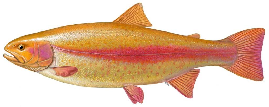 Wegen der besonderen Färbung sind Goldforellen beim Forellenangeln sehr beliebt. Zeichnung: BLINKER/J. Scholz