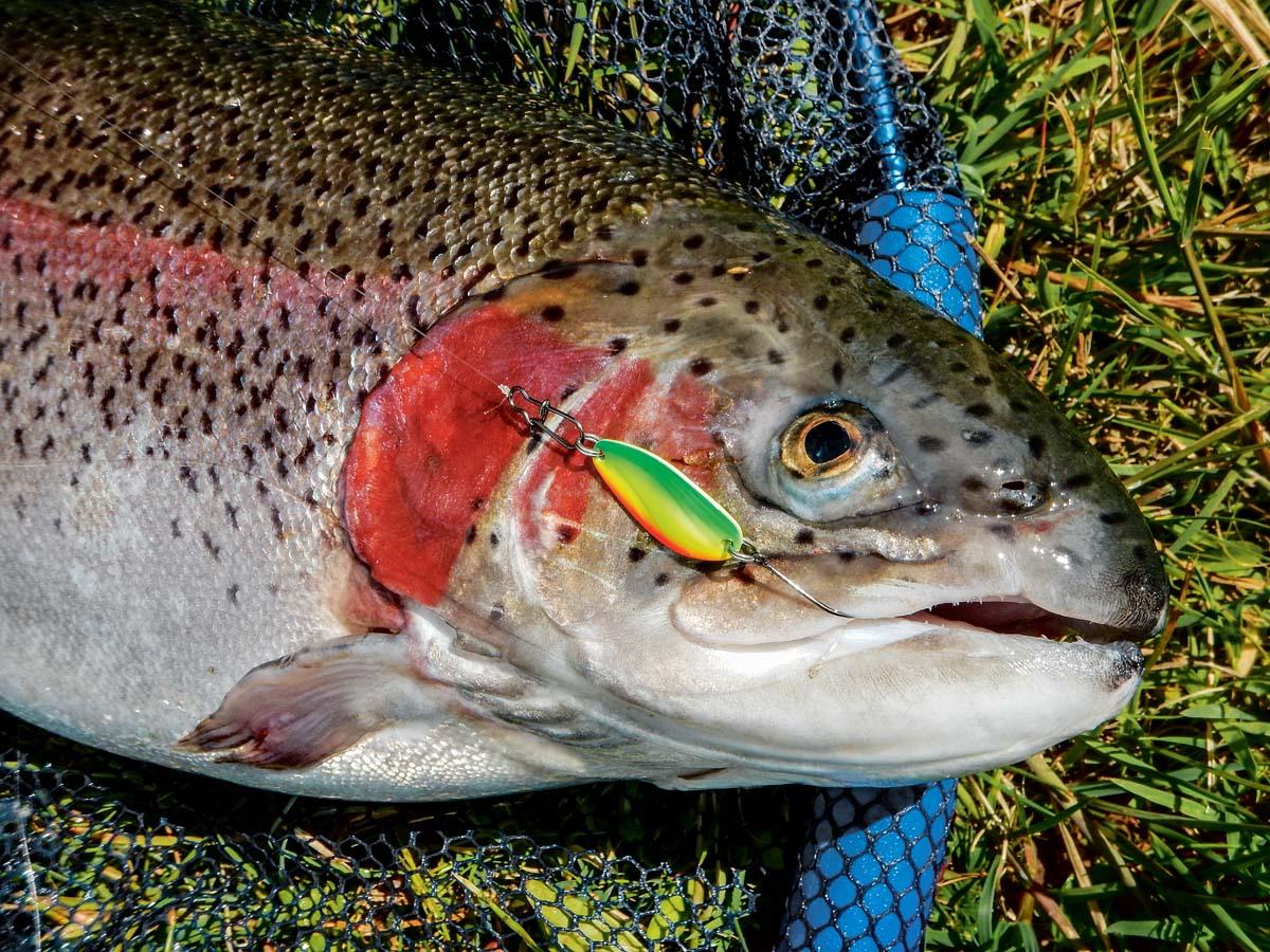 Kleiner Blinker – großer Fisch. Beim Spoon Angeln fängt man häufig kapitale Forellen. Foto: ANGELSEEaktuell/G. Bradler