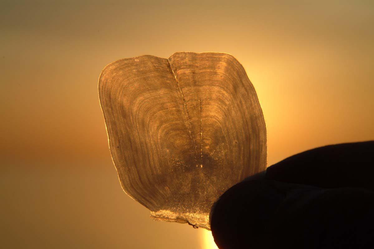 Fischschuppen können bei genauer Betrachtung viel über die Art verraten, zu der sie gehört. Auch das Alter lässt sich anhand der kleinen Zuwachsringe bestimmen. Foto: BLINKER/O. Portrat