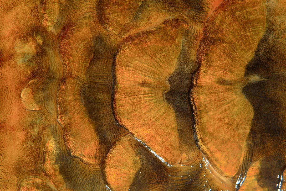Das Schuppenkleid eines Spiegelkarpfens. Foto: O.Portrat