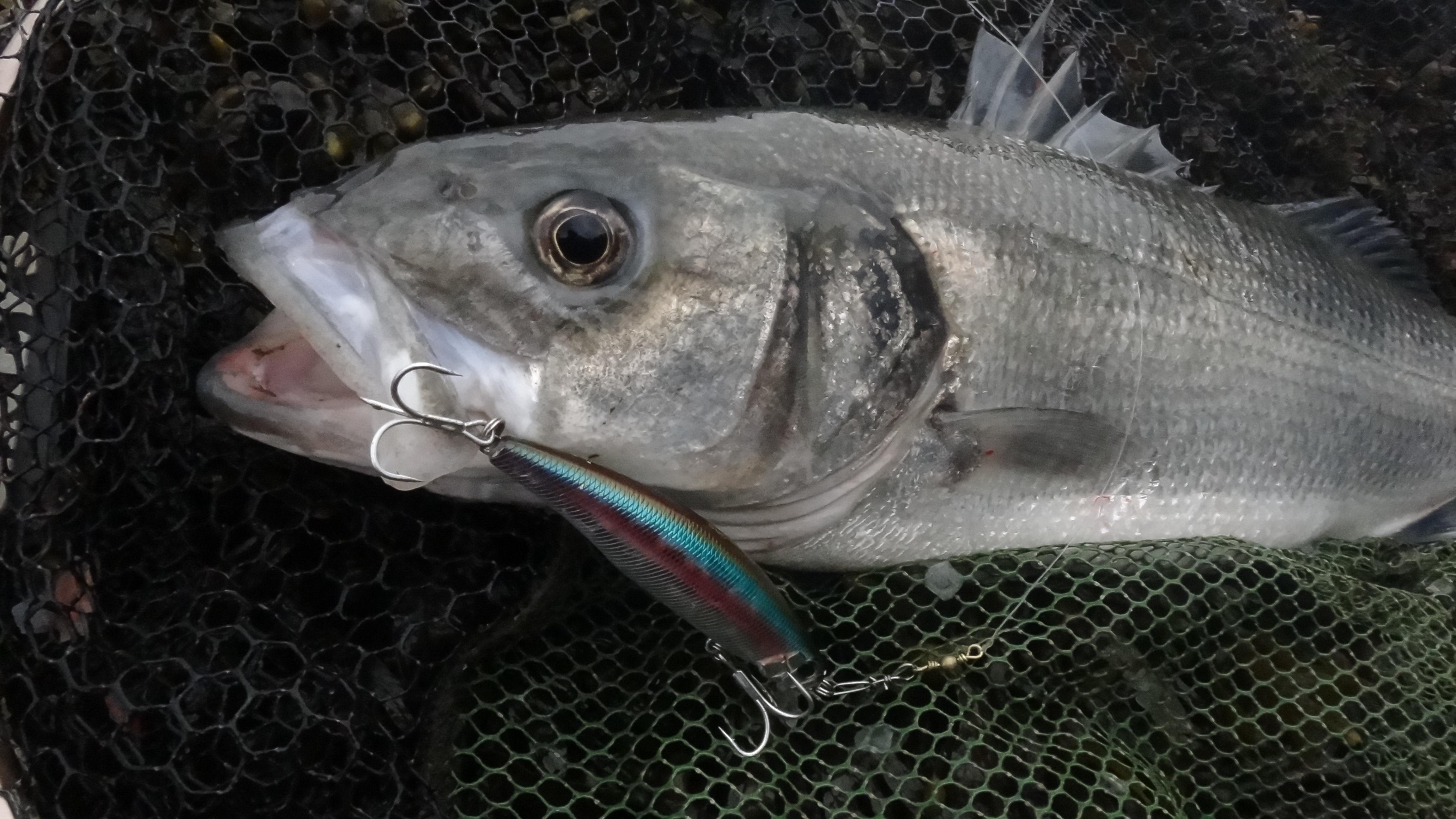 Wolfsbarsch im Kescher. In 2018 müssen alle Fische zurückgesetzt werden.  Foto: A. Pawlitzki