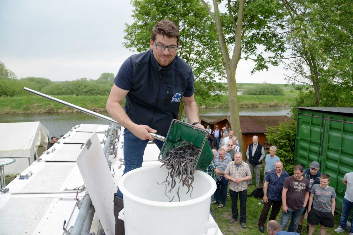Insgesamt 20.000 Aale warten beim Gewinnspiel auf ein neues Zuhause. Foto: ESF/Antje Schimanke