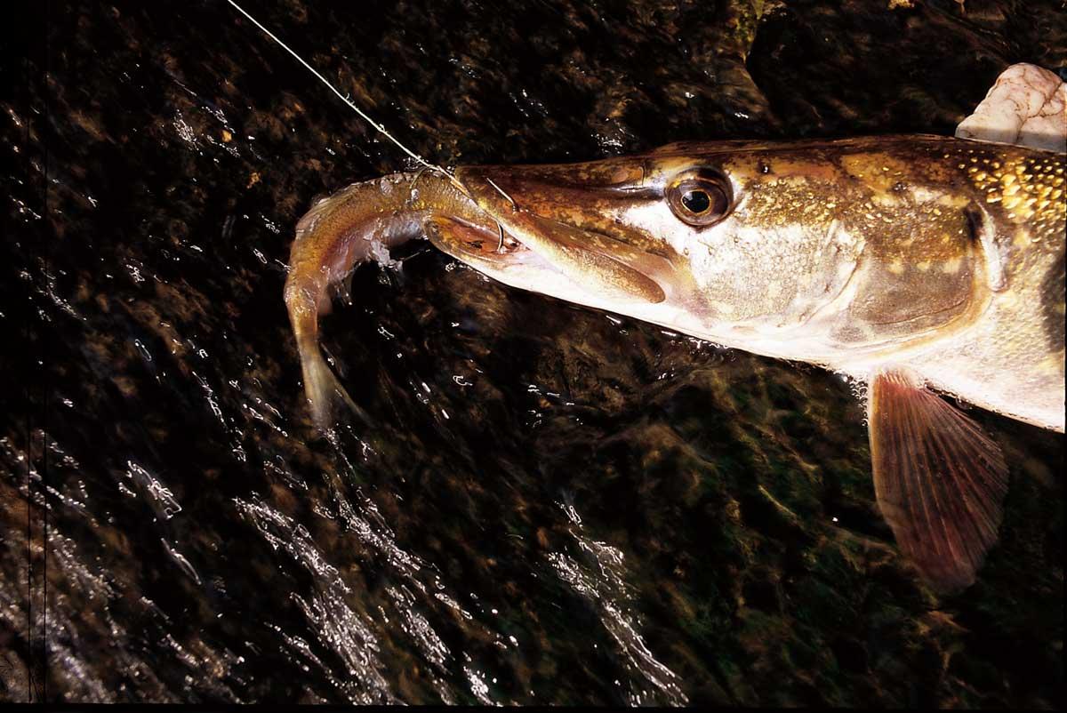 Beim Friedfischangeln bekam Johannes mehrmals Bisse von einem Hecht. Am Ende konnte er den Räuber sogar tatsächlich fangen aber es brachte ihm auch die Anzeige ein. (Beispielfoto) Foto: BLINKER/E. Hartwich