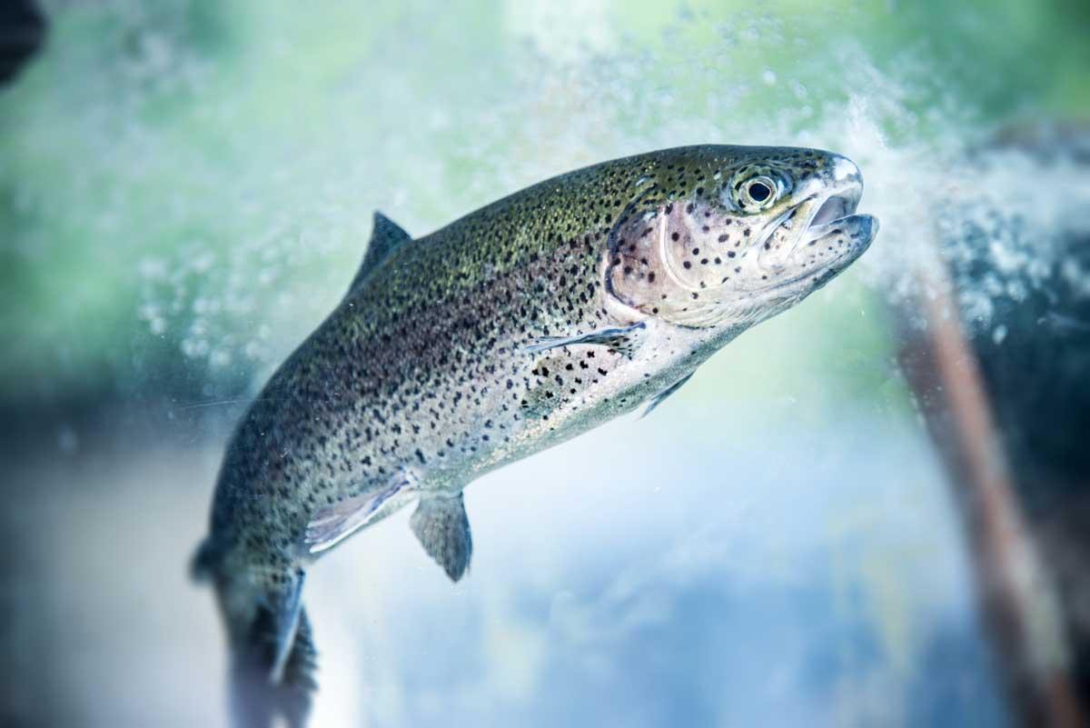 Beim Forellenangeln im Frühjahr setzt Michael Kahlstadt auf zwei Erfolgs-Strategien - und fängt zielsicher die frühen Salmoniden. Foto: Fotolia