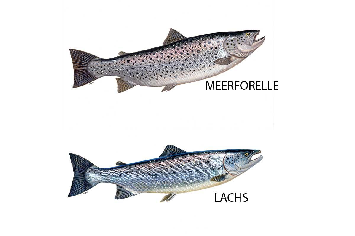 Lachs und Meerforelle kann man z.B. an ihrem Schwanzstiel unterscheiden. Bei der Meerforelle ist dieser weitaus kräftiger als beim Lachs, die Schwanzflosse verläuft gerade. Beim Lachs ist sie leicht eingebuchtet. Die schwarzen Punkte auf dem Schuppenkleid der Meerforelle reichen bis unterhalb der Seitenlinie. Grafik: JTSV