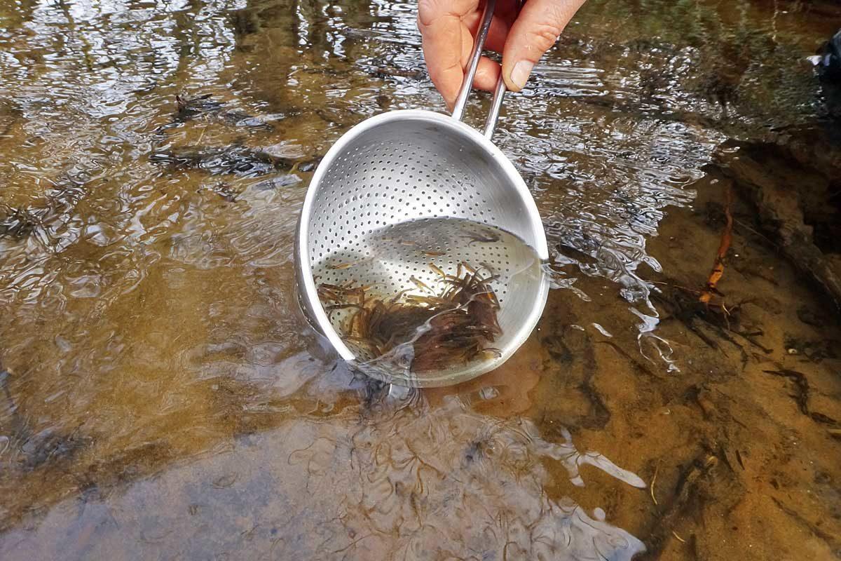 Das Wanderfischprogramm in Sachsen-Anhalt schreitet weiter voran. Die zirka sechs bis acht Zentimeter langen Jungfische werden in die Oberläufe der Bäche ausgesetzt. Foto: F. Schlichting