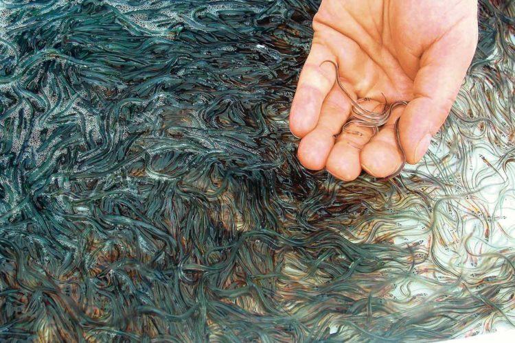 Die Bestände des europäischen Aals sind in den letzten dreißig Jahren deutlich zurückgegangen. Daher sind Besatzaktionen wie in Berlin wichtig für den Bestandserhalt. Foto: Heidrich/ Archiv