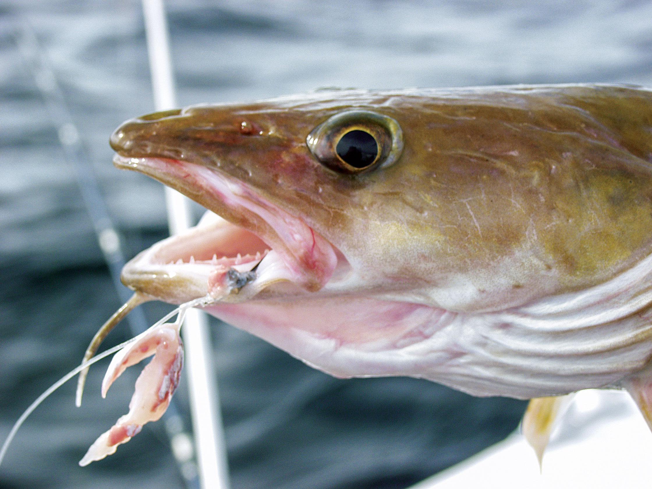 Der Leng zählt ebenso mit zu den beliebtesten Zielfische beim Angeln in norwegen. Ihn fängt man am besten mit Köderfisch oder fetzen direkt am Grund.