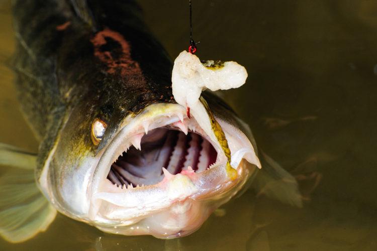 Zanderangeln mit Köderfisch und Pose: Die Erfolgsmontage