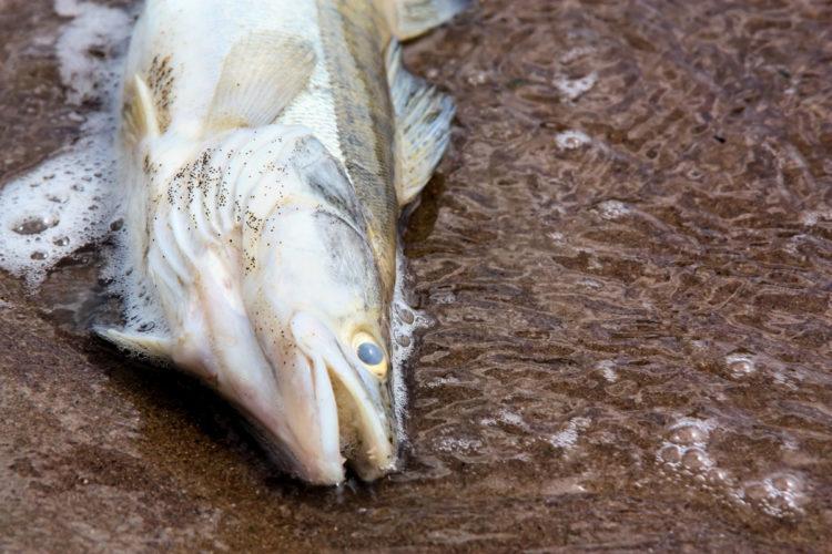 Großes Fischsterben im Aasee. Der Auslöser: akuter Sauerstoffmangel durch die hohen Temperaturen. Foto: Fotolia (Beispielfoto)