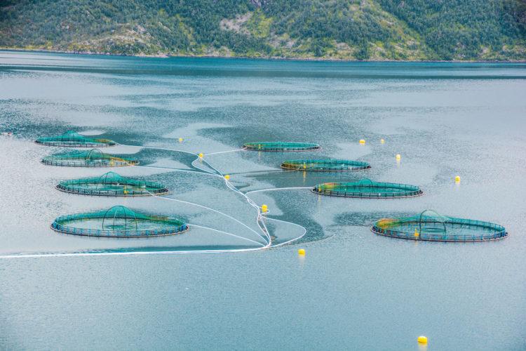 In Lachsfarmen werden unter kontrollierten Bedingungen die Fische gezüchtet, um sie später weltweit zu verkaufen. Foto: R. Korn