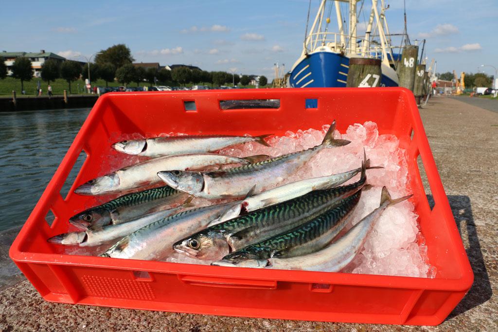 Nach dem Fang der Makrelen, sollten diese kühl aufbewahrt werden. Eine Fischkiste mit Eis oder auch Tiefkühltasche eignet sich bestens dafür. Foto: BLINKER/Hellwig