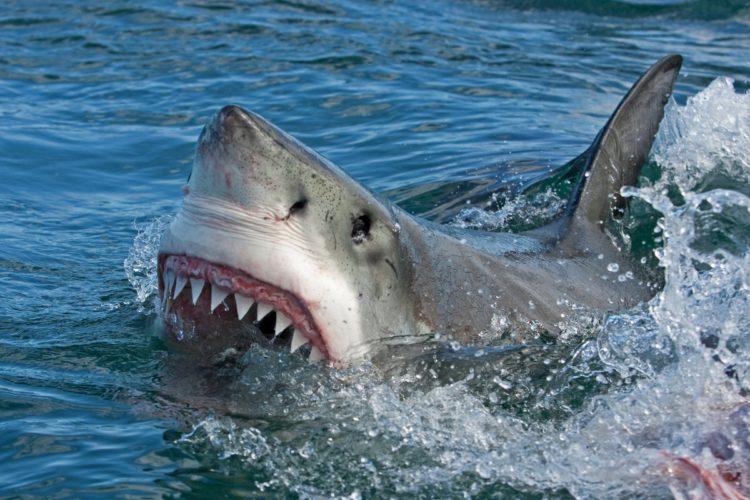 Die Zähne des Weißen Hais sind sehr breit und haben einen gesägten Rand, mit denen sie ihre Beute festhalten und schwer verletzen können. Durch das sogenannte Revolvergebiss, werden die Zähne bei einem Verlust schnell wieder nachgebildet. Foto: Beispielfoto/ Fotolia
